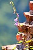 Fiori di Bluebell Fotografia Stock