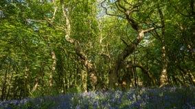 Fiori di Bluebell della primavera in rugiada di mattina stock footage