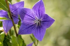 Fiori di campana di grandiflorus di Platycodon in fioritura, bella pianta di fioritura blu viola immagini stock