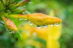 Fiori di Cathartica del Allamanda nel giorno piovoso Immagini Stock Libere da Diritti