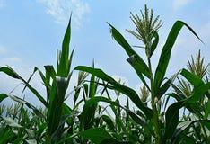 Fiori di cereale Fotografia Stock Libera da Diritti