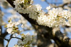 Fiori di ciliegia immagine stock