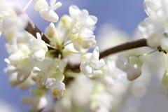 Fiori di ciliegia Immagini Stock