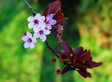 Fiori di ciliegia Fotografia Stock