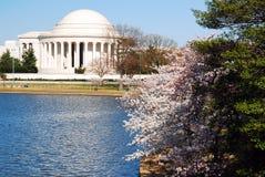 Fiori di ciliegia al memoriale del Jefferson Fotografia Stock Libera da Diritti