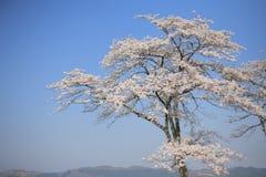 Fiori di ciliegia alla sosta di Minoyama Immagine Stock