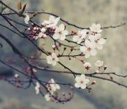 Fiori di ciliegia bianchi Immagini Stock