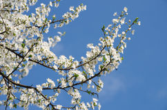 Fiori di ciliegia bianchi Fotografie Stock