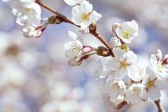 Fiori di ciliegia bianchi e dentellare Immagini Stock