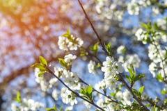 Fiori di ciliegia che cercano nell'albero con il sole luminoso che splende e Immagine Stock