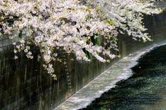 Fiori di ciliegia che versano nel fiume di Meguro, Meguro-ku, Tokyo, Giappone in primavera Immagine Stock Libera da Diritti