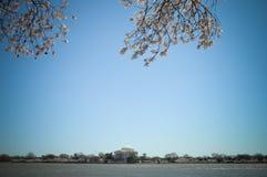 Fiori di ciliegia commemorativi del Jefferson Immagine Stock