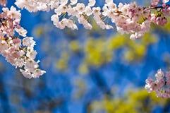 Fiori di ciliegia con lo spazio della copia Fotografia Stock Libera da Diritti