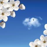 Fiori di ciliegia contro il cielo con le nubi e l'interruttore Fotografia Stock Libera da Diritti