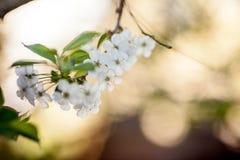 Fiori di ciliegia contro un cielo blu immagini stock