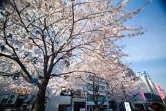 Fiori di ciliegia degli alberi di Sakura fotografie stock