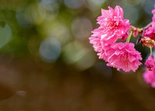 Fiori di ciliegia della piena fioritura in Taiwan Fotografia Stock Libera da Diritti