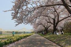 Fiori di ciliegia della riva del fiume di Kitakami o Sakura nel Giappone Immagine Stock Libera da Diritti