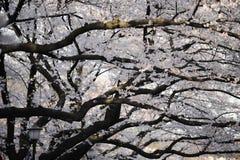 Fiori di ciliegia della sorgente Fotografia Stock