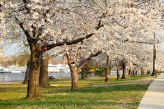 Fiori di ciliegia di fioritura Fotografie Stock