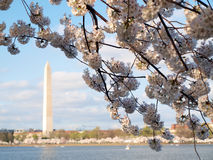 Fiori di ciliegia di Washington d 2012 Immagine Stock Libera da Diritti
