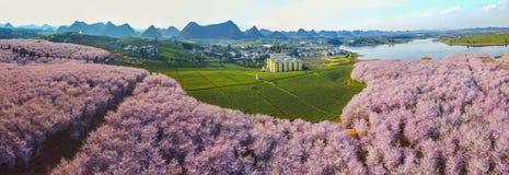 Fiori di ciliegia e giardini di tè Immagini Stock