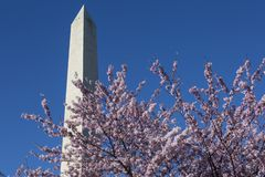 Fiori di ciliegia e Washington Monument visto durante il Cherry Blossom Festival immagine stock