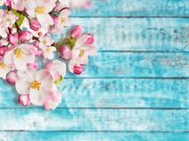 Fiori di ciliegia di fioritura con le vecchie plance di legno Immagini Stock Libere da Diritti