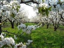 Fiori di ciliegia in frutteto Fotografia Stock