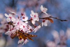 Fiori di ciliegia giapponesi contro un fondo blu-chiaro del bokeh, primo piano fotografie stock libere da diritti