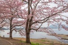 Fiori di ciliegia lungo il percorso di camminata nel lago Kawaguchiko immagine stock
