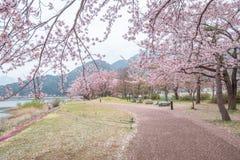 Fiori di ciliegia lungo il percorso di camminata nel lago Kawaguchiko fotografia stock libera da diritti