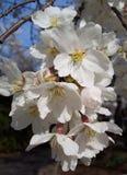 Fiori di ciliegia a macroistruzione Fotografia Stock Libera da Diritti