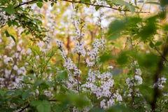 Fiori di ciliegia nel giardino Immagine Stock Libera da Diritti