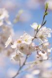 Fiori di ciliegia, nel parco di Showa Kinen, Tokyo, Giappone fotografia stock