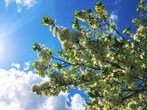Fiori di ciliegia nell'ambito del cielo blu e della luce solare immagine stock