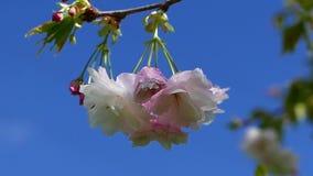 Fiori di ciliegia nella brezza di primavera archivi video