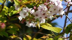 Fiori di ciliegia nella brezza di primavera stock footage