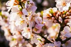 Fiori di ciliegia nella sorgente Fotografie Stock Libere da Diritti