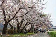Fiori di ciliegia o Sakura nel parco di Tenshochi, città di Kitakami, Giappone Immagine Stock