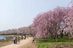 Fiori di ciliegia o Sakura piangenti nel parco di Tenshochi, Giappone Fotografie Stock Libere da Diritti
