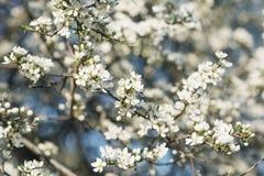 Fiori di ciliegia in piena fioritura Fotografia Stock
