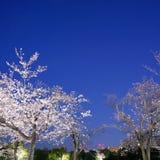 Fiori di ciliegia in piena fioritura con il fondo dell'orsa maggiore o dei trioni a Tokyo nelle prime ore del mattino fotografie stock libere da diritti