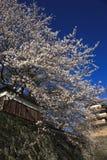 Fiori di ciliegia pieni dei bloomes al fossato di Takashima Immagini Stock
