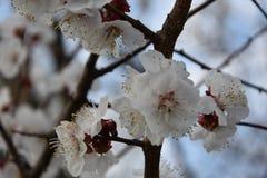 Fiori di ciliegia pinta 1 fotografie stock