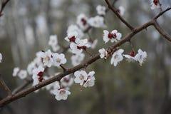Fiori di ciliegia pinta 3 Immagine Stock