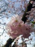 Fiori di ciliegia presi vicino su in un albero fotografia stock