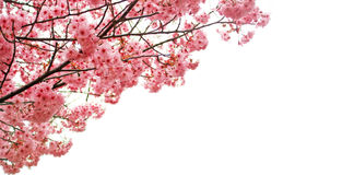 Fiori di ciliegia rosa con spazio bianco Fotografia Stock Libera da Diritti