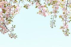 Fiori di ciliegia rosa della molla che creano la struttura perfetta per un giorno di primavera fotografia stock libera da diritti