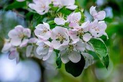 Fiori di ciliegia rosa e bianchi Fotografie Stock